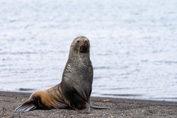 Fur Seal on Deception Island